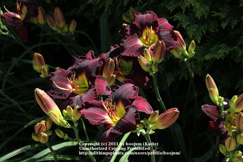 Photo of Daylily (Hemerocallis 'Bela Lugosi') uploaded by boojum