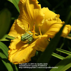 Thumb of 2011-07-20/daylily/b7af01