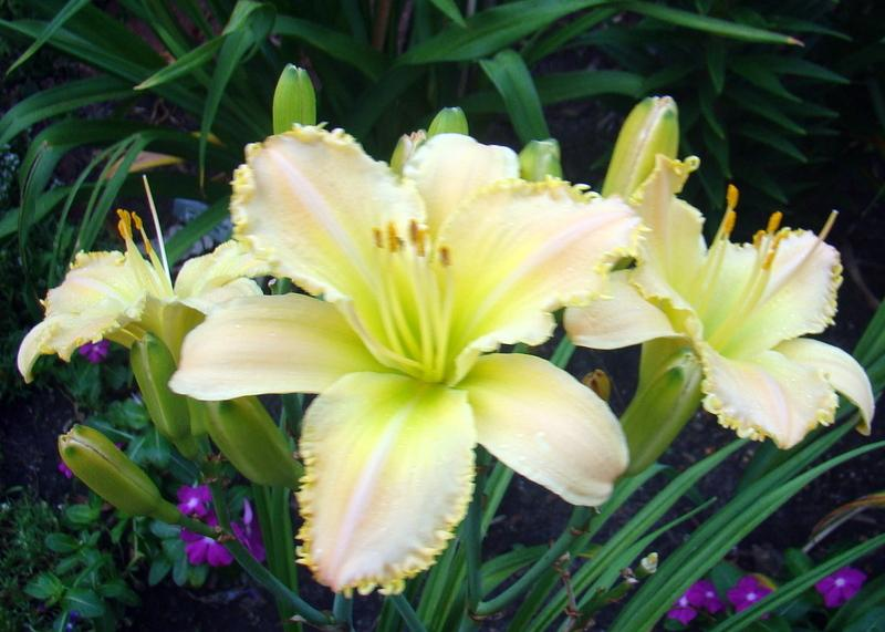 Photo of Daylily (Hemerocallis 'Techny Peach Lace') uploaded by stilldew