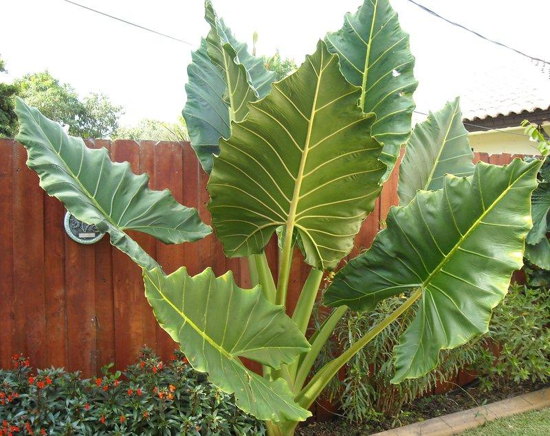 photo of the entire plant of upright elephant ear alocasia 39 sarian 39 posted by lariann. Black Bedroom Furniture Sets. Home Design Ideas
