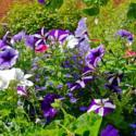 Petunia Sowing Tips
