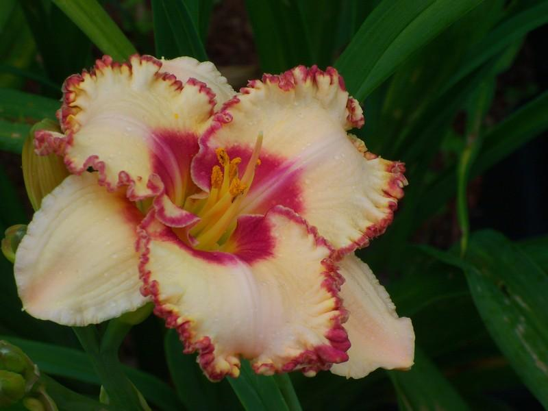 Photo of Daylily (Hemerocallis 'Braided Edgings') uploaded by hanesh