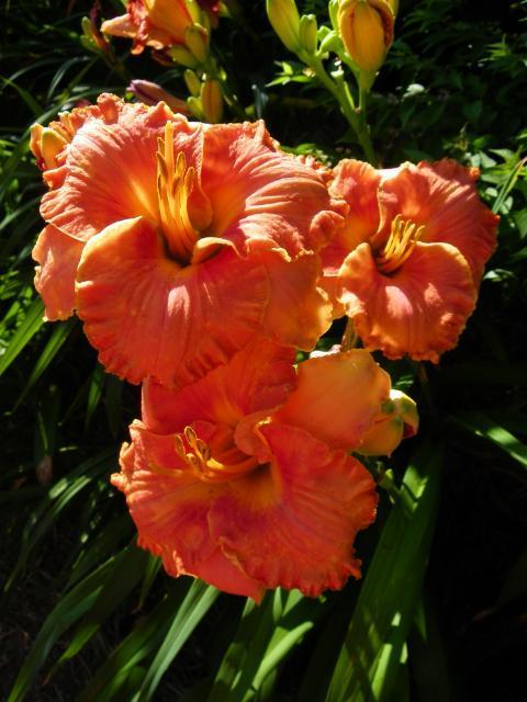Photo of Daylily (Hemerocallis 'Trial by Fire') uploaded by Calif_Sue