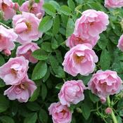 L.G. gets masses of light pink flowers that are long lasting but