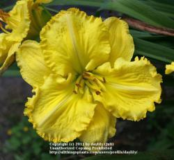 Thumb of 2011-08-20/daylily/34704a