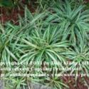 Grow Your Spider Plant Outdoors