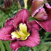 Taken at Maryott's Daylily Gardens, the overcast skies and cooler