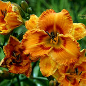 Taken at Maryott's Daylily Gardens