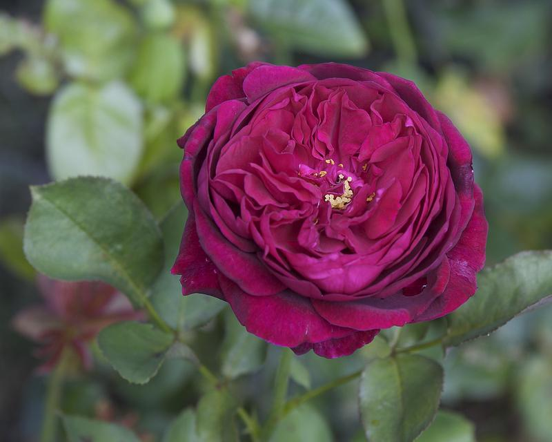 Photo of Rose (Rosa 'The Squire') uploaded by Mike