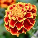Plant Marigolds To Deter Insects