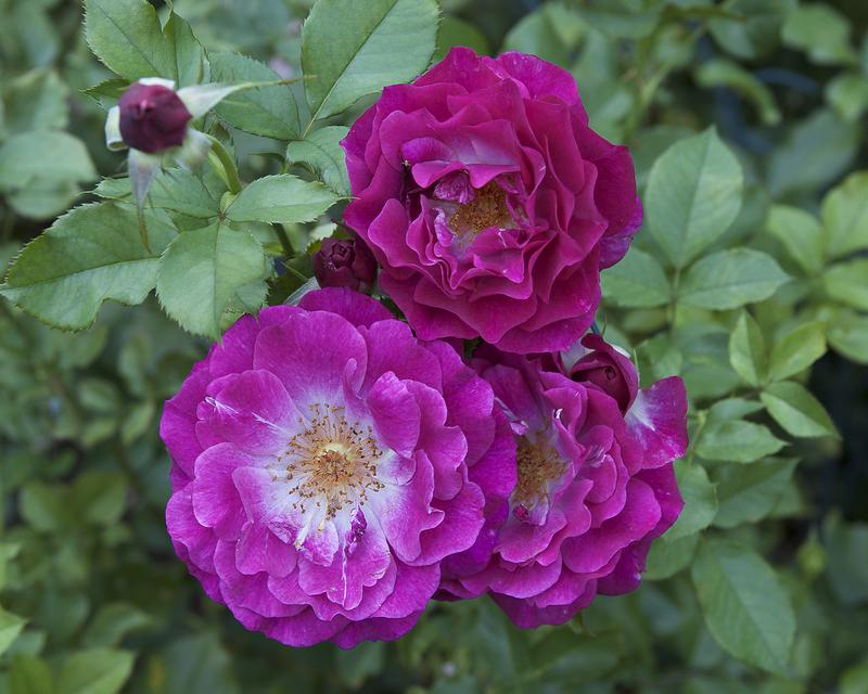 Photo of Rose (Rosa 'Wild Blue Yonder') uploaded by Mike