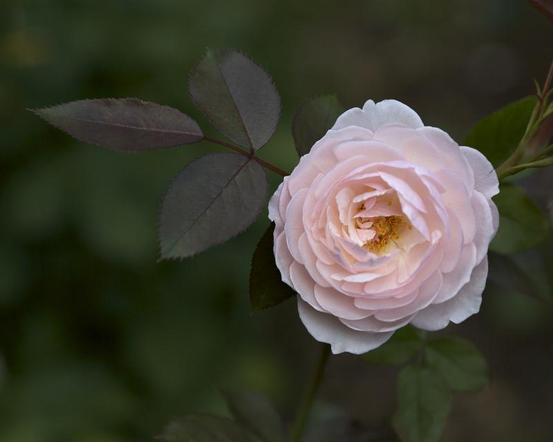 Photo of Rose (Rosa 'Heritage') uploaded by Mike