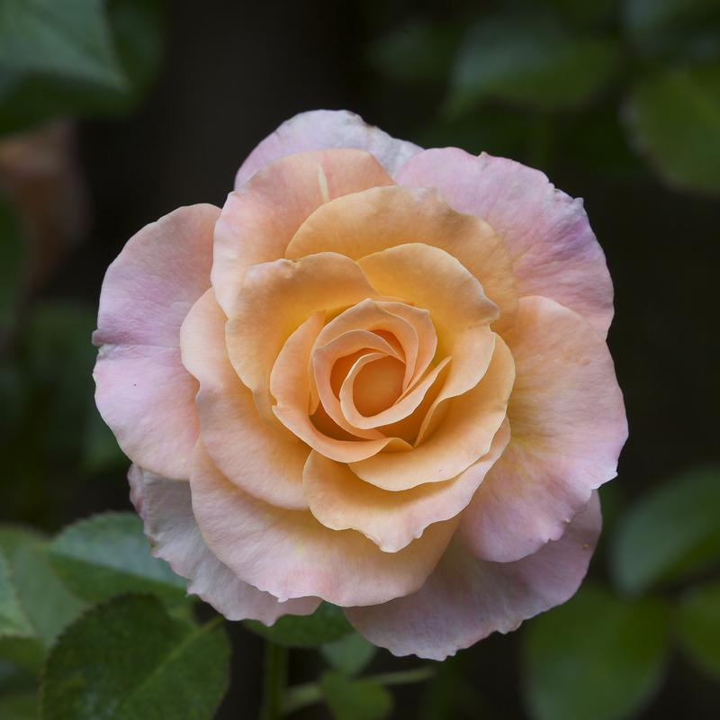 Photo of Rose (Rosa 'Day Breaker') uploaded by Mike