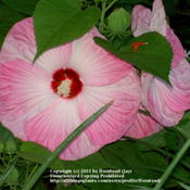 Location: Jefferson County, TexasDate: June 9, 2009Hardy Hibiscus 'Luna Pink Swirl'
