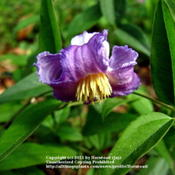 Location: Beaumont, Jefferson County, TexasDate: March 29, 2011Clematis crispa Bloom