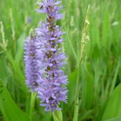 Location: Jefferson County, TexasDate: August 14, 2008Pickerelweed Bloom