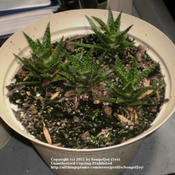 Location: Over-wintering in basementDate: 1/20/2011young Aloe x spinosissima offsets rooting indoors