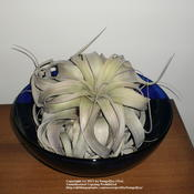 "Location: HomeDate: 12/4/2010 T. xerographica in a 12"" bowl"