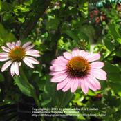 Location: My backyardDate: August 12, 2011Purple Coneflower