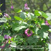 Location: My back deckDate: June 6, 2011Purple Hyacinth Bean Vine