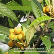 Date: April 24, 2011Gray Catbirds love the little Loquats