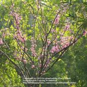 Location: Front YardDate: March 6, 2011Eastern Redbud