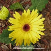 Location: My backyardDate: March 3, 2011Gerbera Daisy