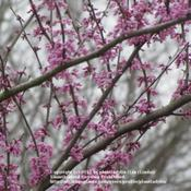 Date: March 2011Flowering Eastern Redbud