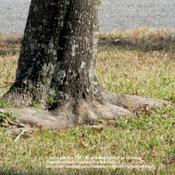 Location: Daytona Beach, FloridaDate: January 27, 2011Trunk/Bark of Red Maple