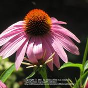 Location: My backyardDate: August 2011Purple Coneflower