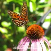 Location: #Pollination - Monarch Butterfly Date: June 10, 2010#Pollination - Gulf Fritillary Butterfly visiting a bloom
