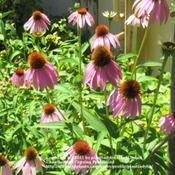 Location: My backyardDate: July 15, 2011Coneflowers