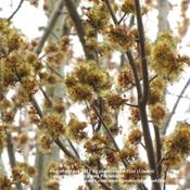 Location: Daytona Beach, FloridaDate: January 4, 2011Blooms of Red Maple