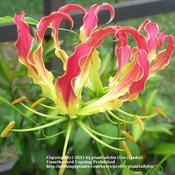 Date: July 2010Close up of Gloriosa bloom