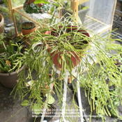 Location: Middle TennesseeDate: 9/2/2011This Rhipsalis can be grown fairly easily from cuttings.
