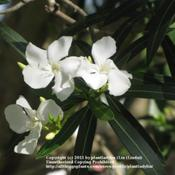 Date: March 23, 2011Blooms of White Oleander