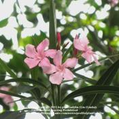 Date: May 3, 2011Blooms of Light Pink Olender