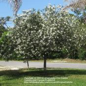 Location: My front yardDate: April 26, 2011White Oleander