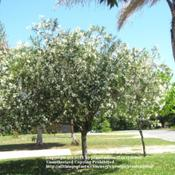 Location: My front yardDate: April 18, 2011White Oleander