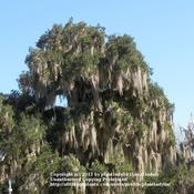 Location: Blue Springs State Park, FloridaDate: January 23, 2010Live Oak dripping Spanish Moss