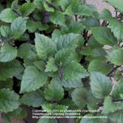 Date: March 19, 2011Foliage of Plectranthus 'Mona Lavender'
