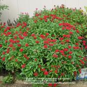 Location: My backyardDate: October 5, 2007Red Star Flowers