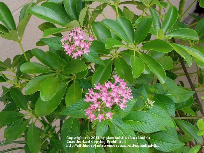 Photo of Star Flower (Pentas lanceolata) uploaded by plantladylin