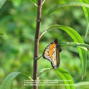 Location: Daytona Beach, FloridaDate: July 17, 2011Stem & Monarch Butterfly laying eggs on a leaf.