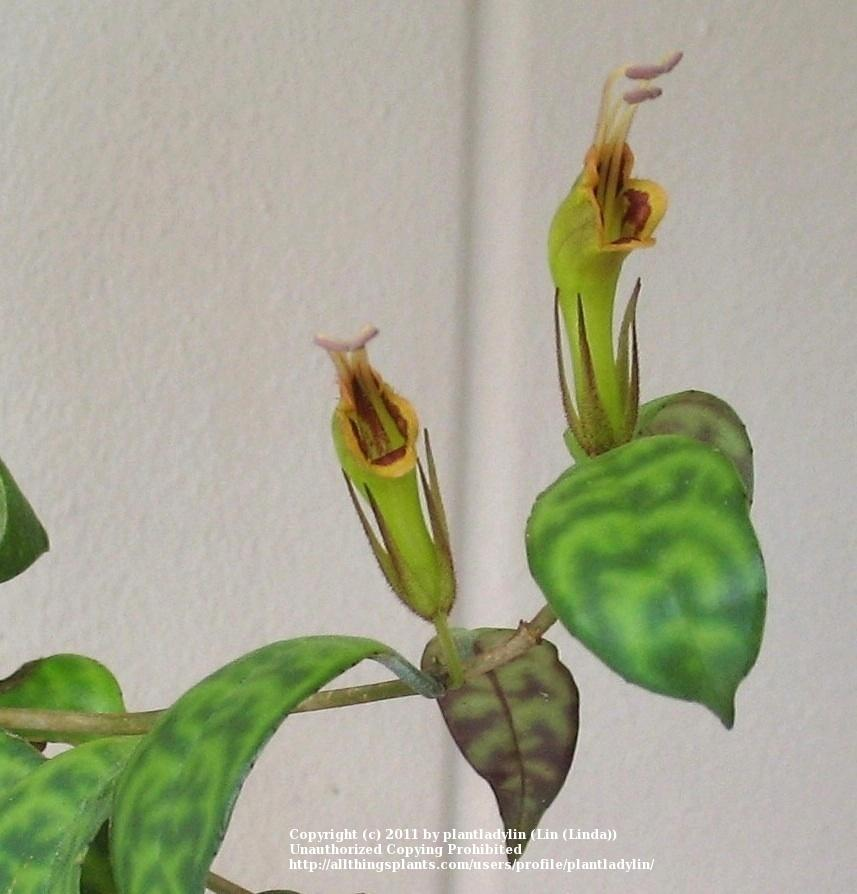how to get lipstick plant to bloom