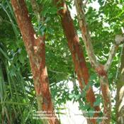 Location: Front YardDate: August 3, 2009Bark of white blooming Crape Myrtle tree