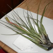 Location: Middle TennesseeDate: 12/24/2010Often called Air Plants, Tillandsias cannot live on air alone