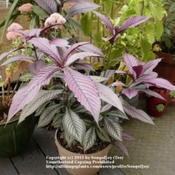 Location: Middle TennesseeDate: 9/14/2011Persian Shield is a low maintenance plant