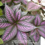 Location: Middle TennesseeDate: 7/28/2011Persian Shield