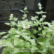 Location: Middle TennesseeDate: 7/28/2011Catnip in bloom